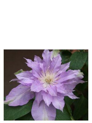 Fleur De Lilac Bud Parfums